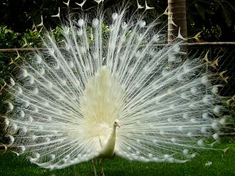 LEUCISTIC INDIAN PEACOCK